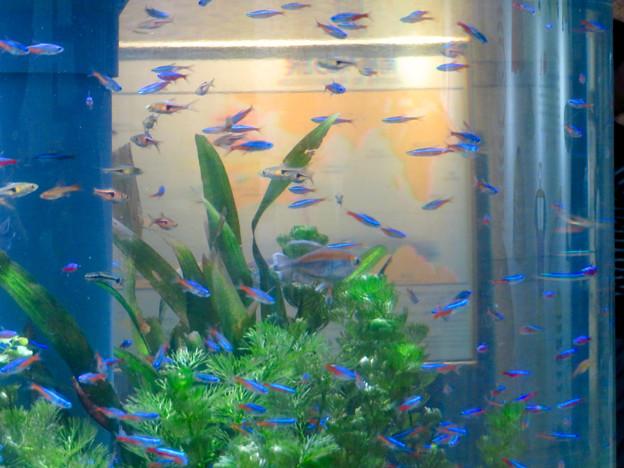 名古屋港水族館「カラフルコレクション ~絢爛華麗な水の生き物たち」展 - 15:ネオンテトラ