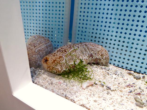 名古屋港水族館「カラフルコレクション ~絢爛華麗な水の生き物たち」展 - 16:ジャノメナマコ