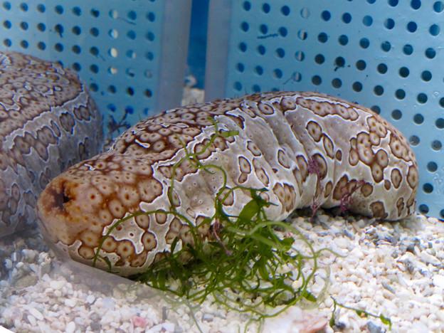 名古屋港水族館「カラフルコレクション ~絢爛華麗な水の生き物たち」展 - 17:ジャノメナマコ