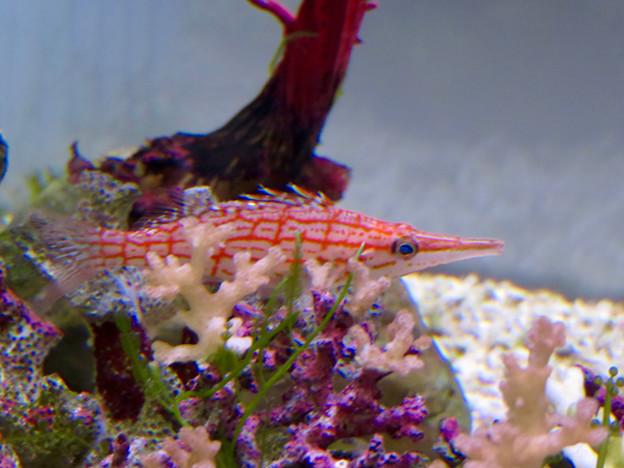 名古屋港水族館「カラフルコレクション ~絢爛華麗な水の生き物たち」展 - 19:クダコンベ