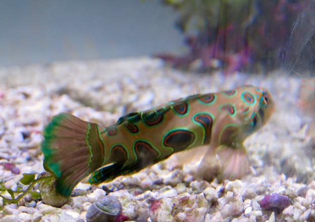 名古屋港水族館「カラフルコレクション ~絢爛華麗な水の生き物たち」展 - 20:ブルースポッテッド マンダリンフィッシュ