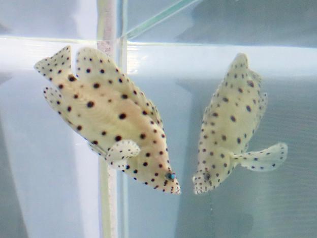 名古屋港水族館「カラフルコレクション ~絢爛華麗な水の生き物たち」展 - 21