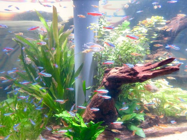 名古屋港水族館「カラフルコレクション ~絢爛華麗な水の生き物たち」展 - 24:ネオンテトラ