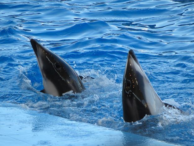 名古屋港水族館:シャッタースピード早くして撮ったイルカショー - 5