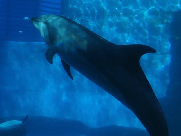 名古屋港水族館:泳ぐイルカの周りにある空気の粒 - 1