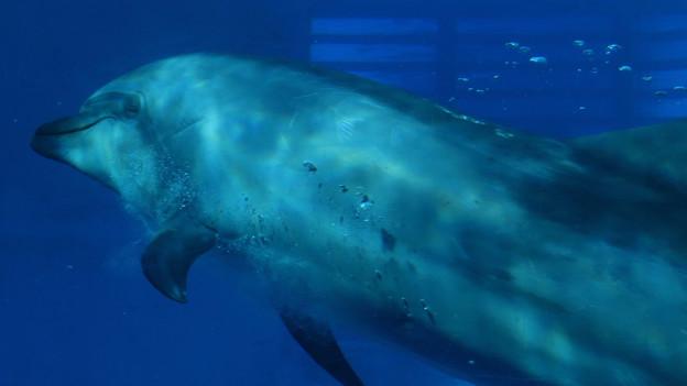名古屋港水族館:泳ぐイルカの周りにある空気の粒 - 2