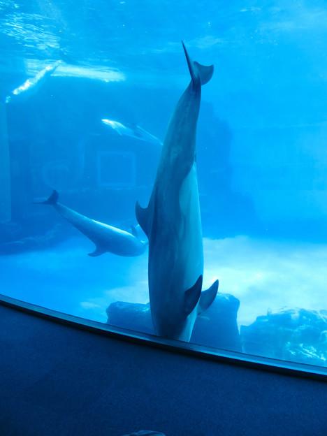 名古屋港水族館:相変わらず逆立ち?してたイルカたち - 1