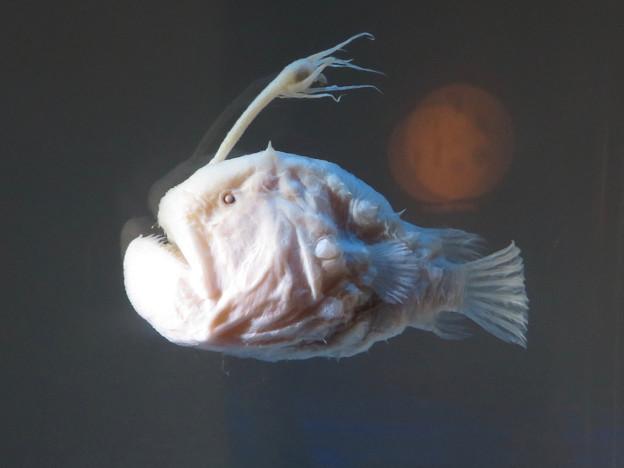 名古屋港水族館:チョウチンアンコウ