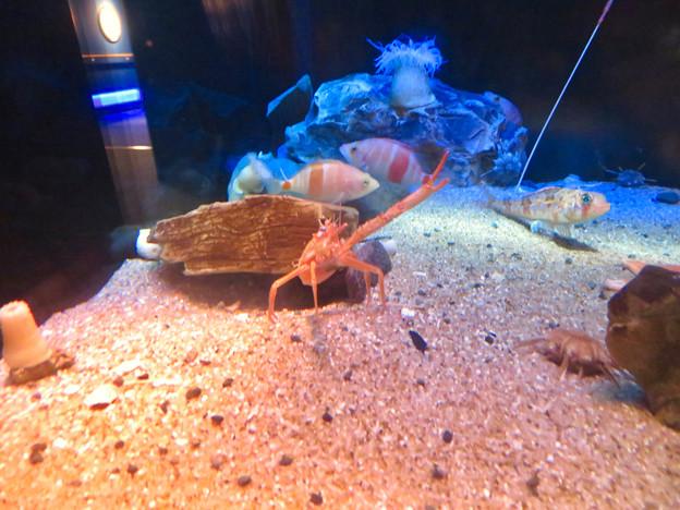 名古屋港水族館:見事なピースサインしてたオオコシオリエビ - 1