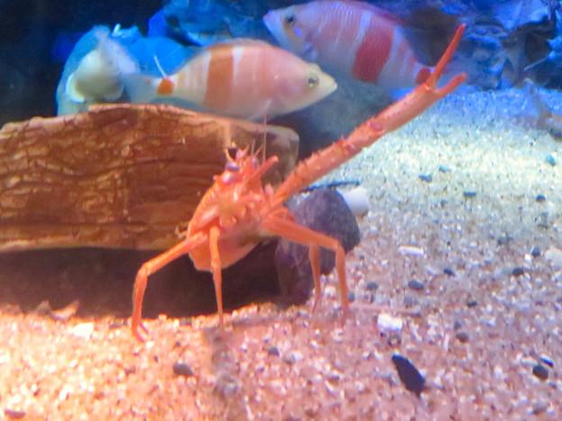 名古屋港水族館:見事なピースサインしてたオオコシオリエビ - 2
