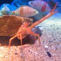 Photos: 名古屋港水族館:見事なピースサインしてたオオコシオリエビ - 2