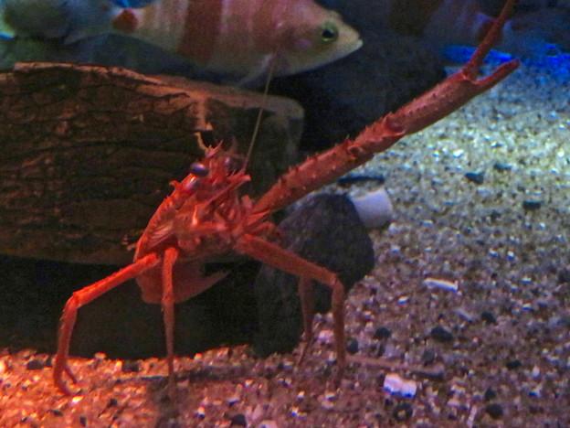 名古屋港水族館:見事なピースサインしてたオオコシオリエビ - 3