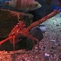 Photos: 名古屋港水族館:見事なピースサインしてたオオコシオリエビ - 3