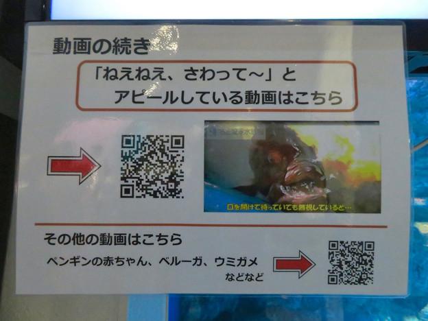 名古屋港水族館:歯磨きしてもらうクエの映像 - 2