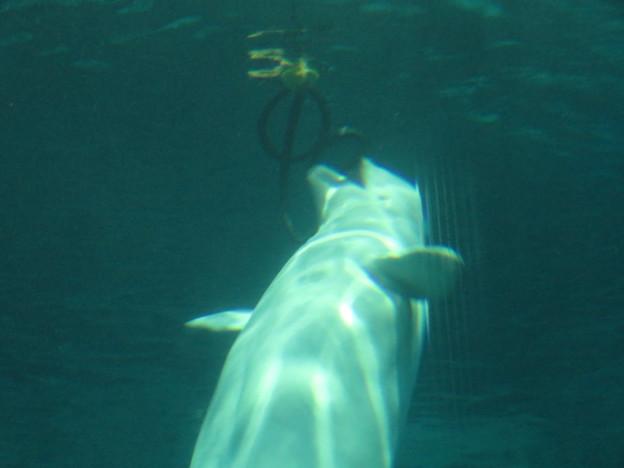 名古屋港水族館:水上ぶ浮かぶ物体で遊ぶベルーガ - 1