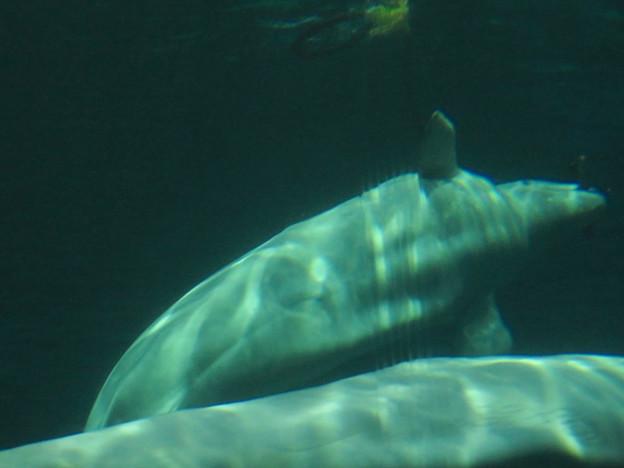 名古屋港水族館:水上ぶ浮かぶ物体で遊ぶベルーガ - 2