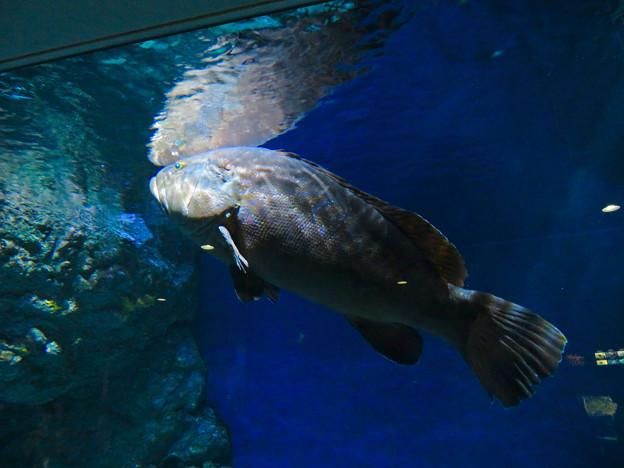 名古屋港水族館:大きなクエ - 1