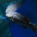 Photos: 名古屋港水族館:大きなクエ - 1