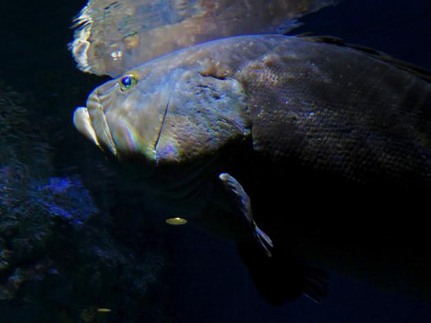 名古屋港水族館:大きなクエ - 2