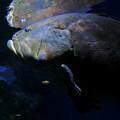 Photos: 名古屋港水族館:大きなクエ - 2