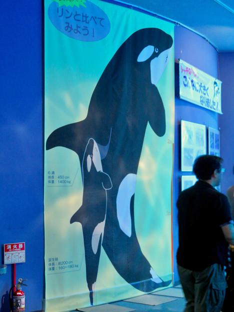 名古屋港水族館:等身大の?シャチのイラスト - 2