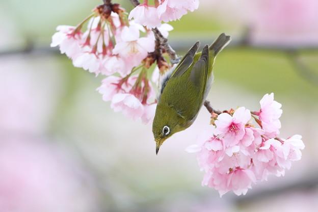 大寒桜メジロ その1