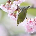 写真: 大寒桜メジロ その1