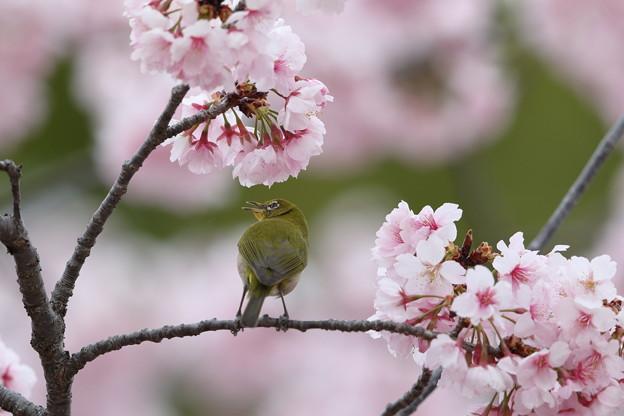大寒桜メジロ その2