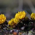 写真: 福寿草が咲き出した~