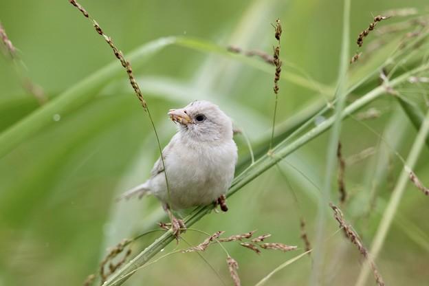 Photos: 白い雀