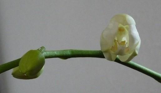 胡蝶蘭の蕾