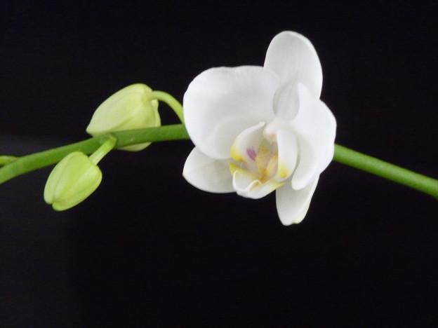 胡蝶蘭 咲く