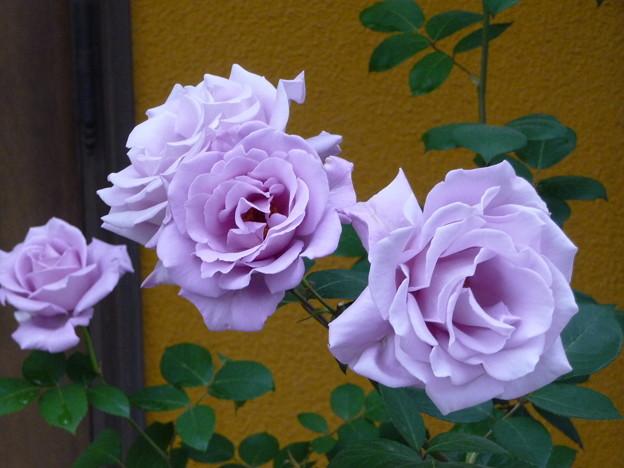 Photos: 次々と咲き続くブルームーン