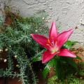Photos: 玄関に咲く百合