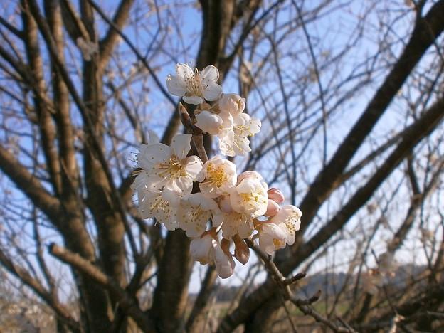 さくらんぼの花・1
