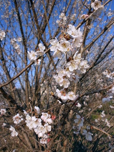 さくらんぼの花・3