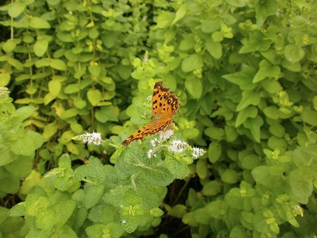 写真: ミントの花と蝶