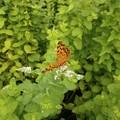 Photos: ミントの花と蝶