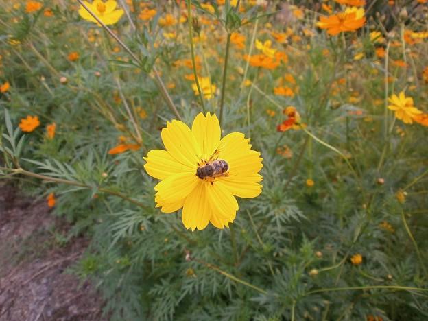 キバナコスモスと蜂