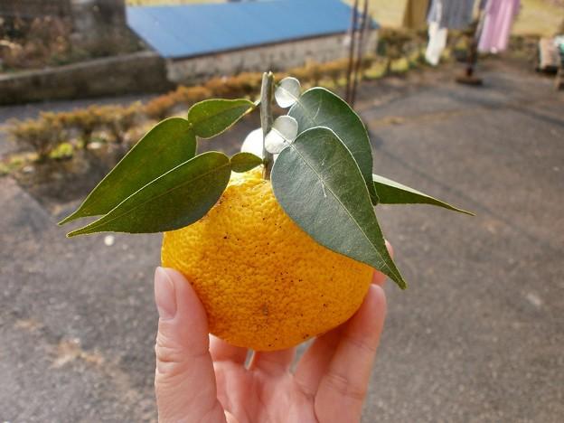 もぎたての柚子