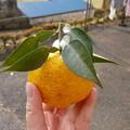 Photos: もぎたての柚子