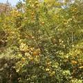 柚子の樹木