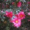 Photos: 山茶花2