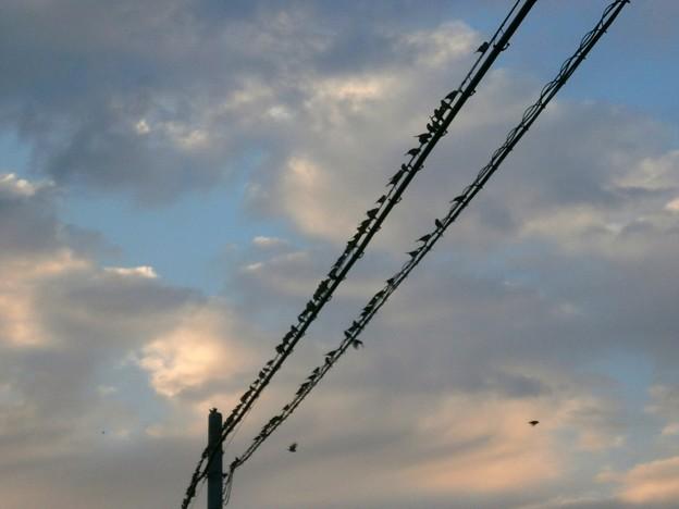 電線のスズメたち
