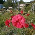 Photos: 赤薔薇
