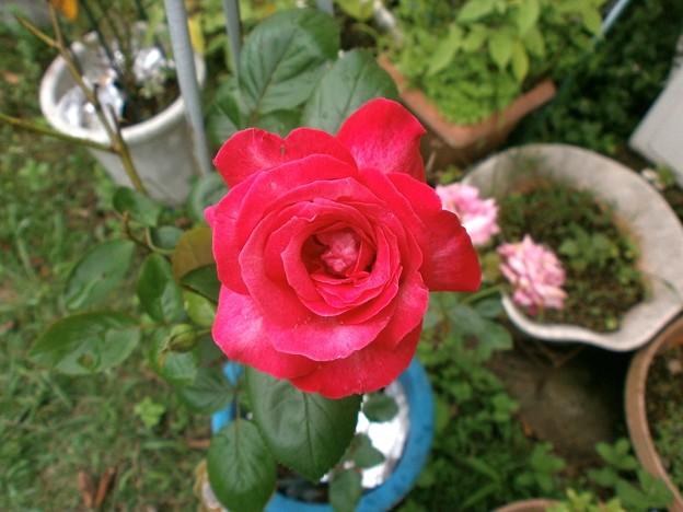 Photos: 薔薇1