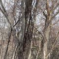 写真: 山ブドウの木