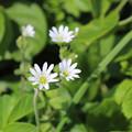 写真: エゾカンゾウの根本に咲いていた花