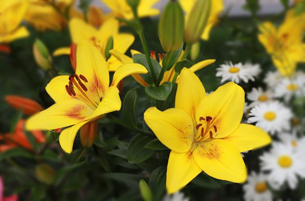 百合の花あれこれ(2)