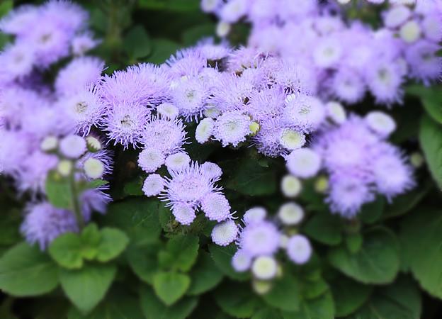 写真: 大通り公園に咲いていた花(アゲラダム )